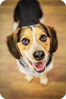 Pin By Wendi Thoman On Levi Beagle Pet Adoption Beagle Mix