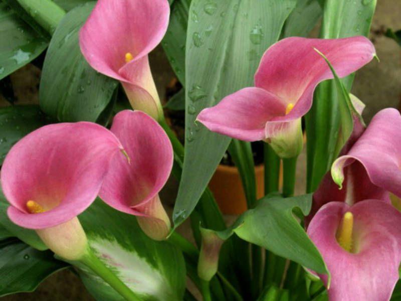 Zantedeschia Rehmannii Pink Calla Lily World Of Flowering Plants Zantedeschia Lily Plants Calla Lily