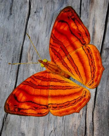 Pin By Birgit On Beautiful Bugs Glasswing Butterfly Butterfly Spirit Animal Beautiful Butterflies