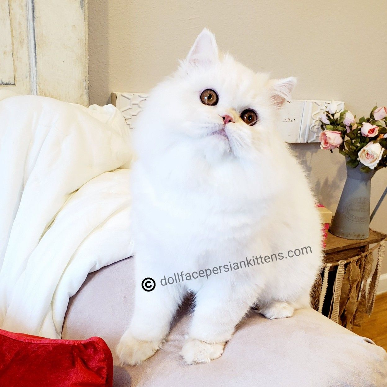Pin by Doll Face Persian Kittens ww on Cutest Kittens On
