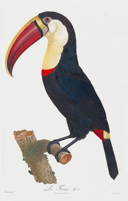 """François Levaillant, """"Histoire naturelle des oiseaux de paradis et des Rollier, suivie de celle of toucans et des barbus""""."""