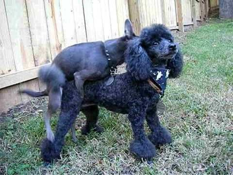 Dogs Mating Poodle Dog Mating
