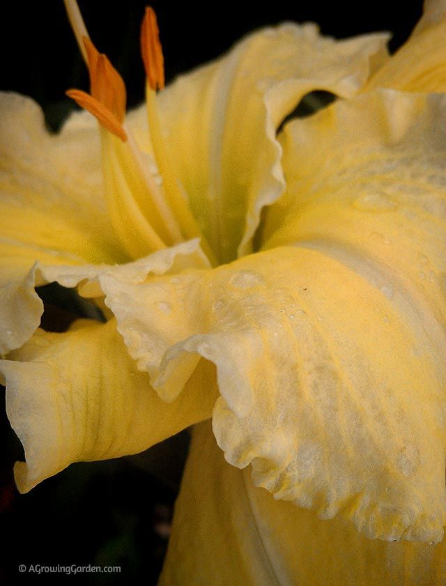 Yellow Daylily - Airy Touch