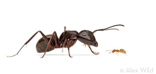 One Of Eastern North America S Largest Ants A Carpenter Ant With