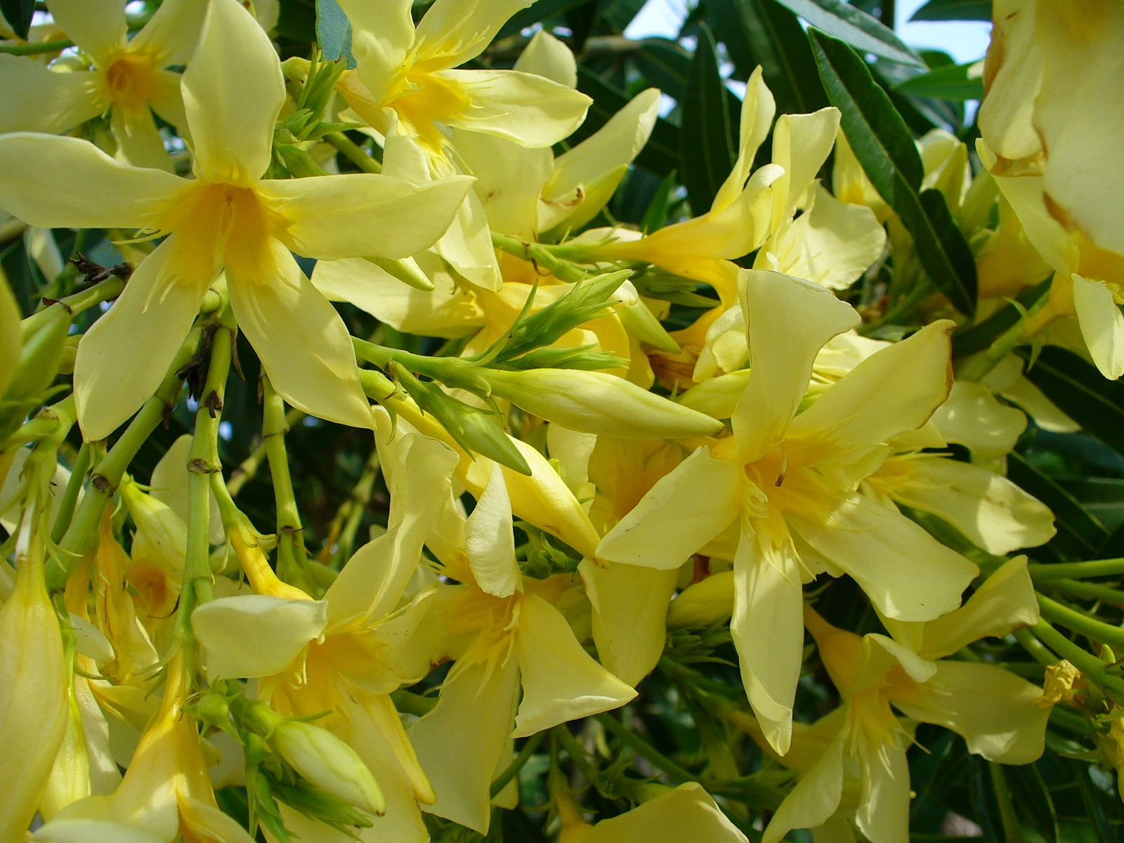 Nerium Oleander Maria Gambetta Bushes And Shrubs Pinterest