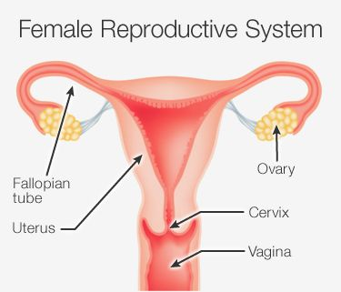 Female Reproductive System | PCOS | Pinterest | More The o ... | 375 x 321 jpeg 15kB