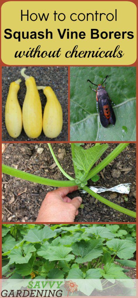 Prevent Squash Vine Borers Organically Organic Gardening Tips