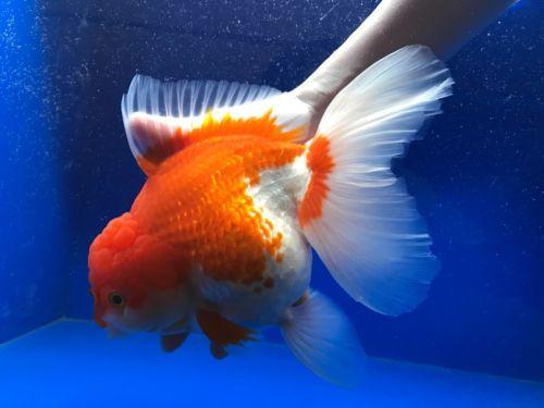 Wow Red White Oranda Live Fancy Goldfish Show Grade Jumbo Size 8 5 00153 Red And White Goldfish Fancy