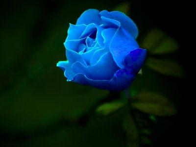 Mobili rosa ~ Rosa azul flora blue roses flowers and gardens