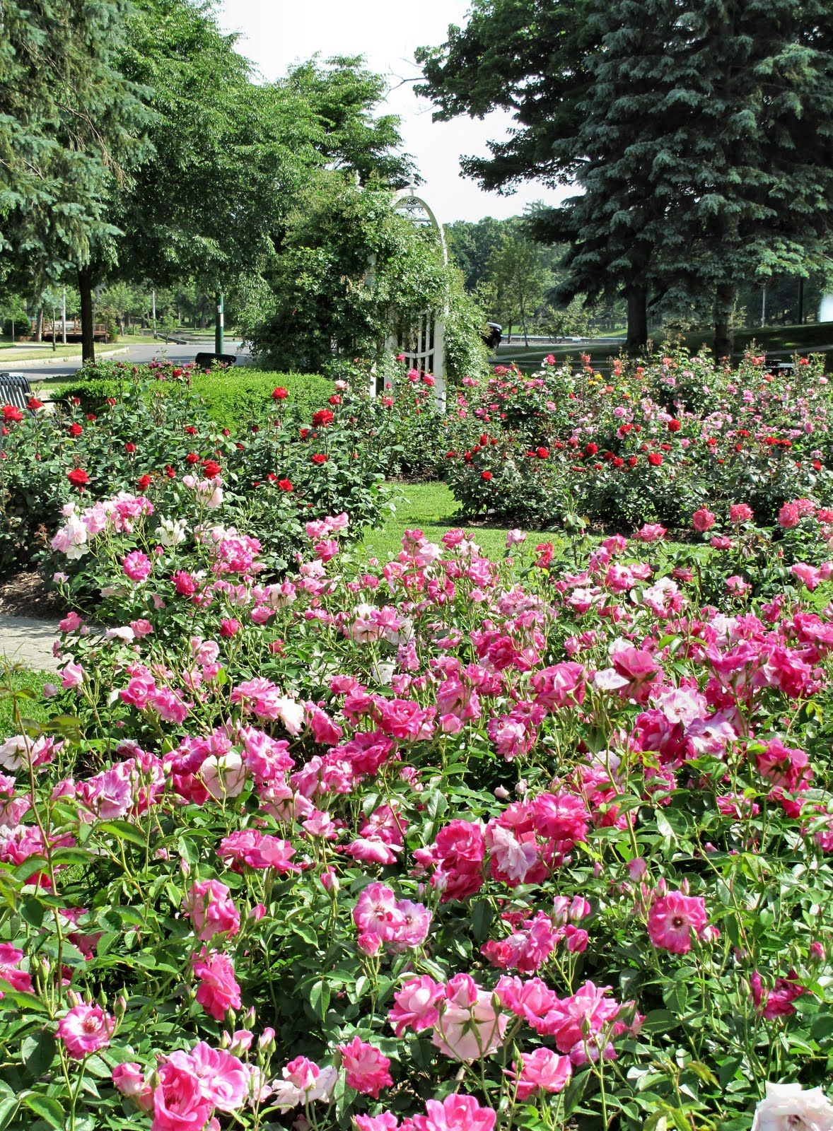 The best varieties of park roses for the Moscow region 43