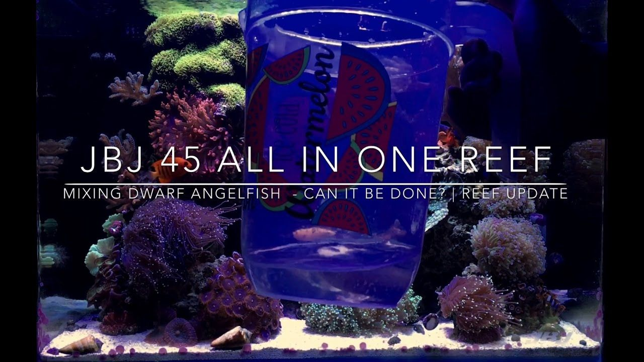 Mixing Dwarf Angelfish In One Tank Can It Be Done Reef Update Youtube Angel Fish Reef Tank Reef