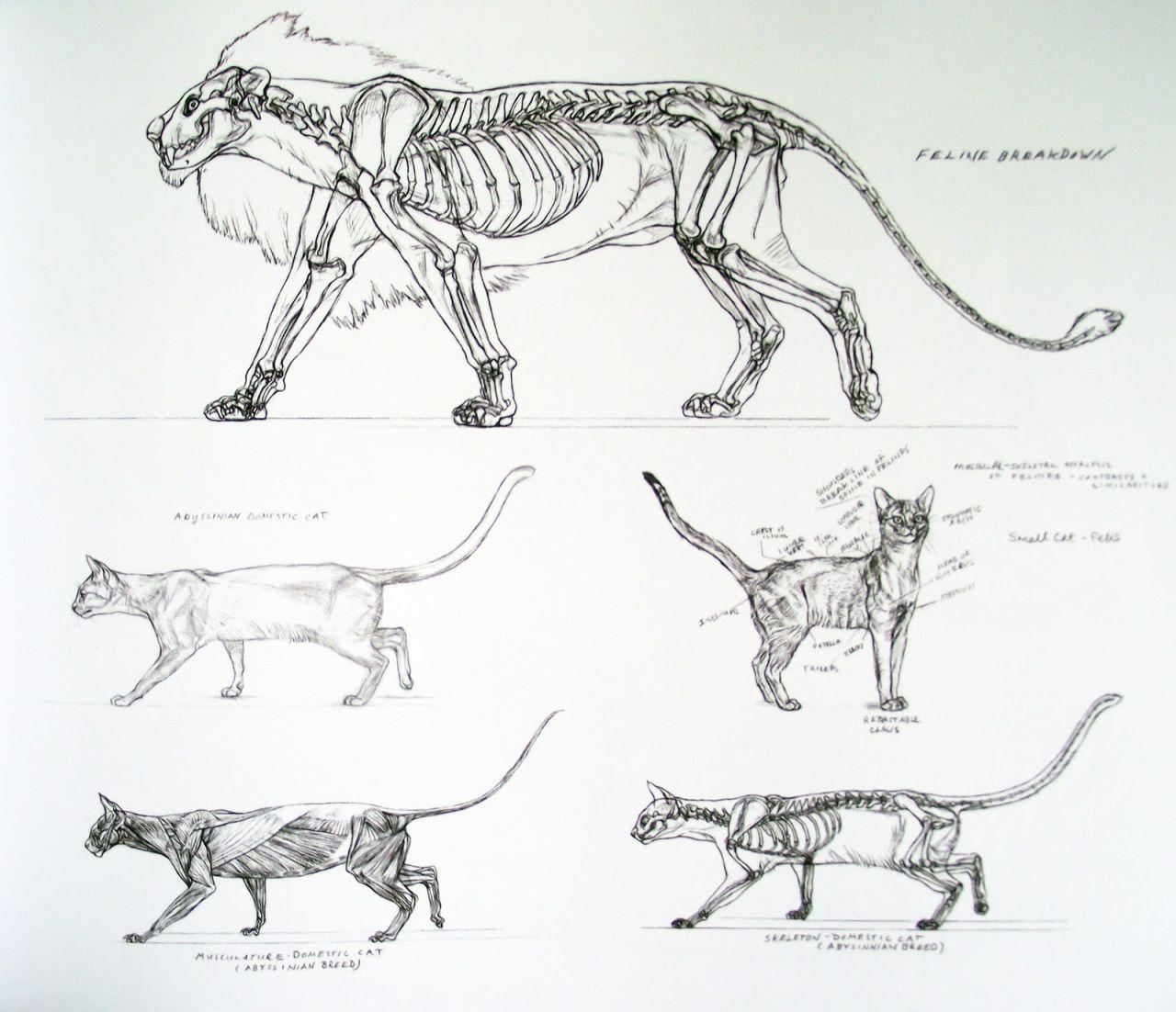 tumblr_n18c27QUd91rjw0mwo2_1280.jpg (1280×1102) | Felid Anatomy ...