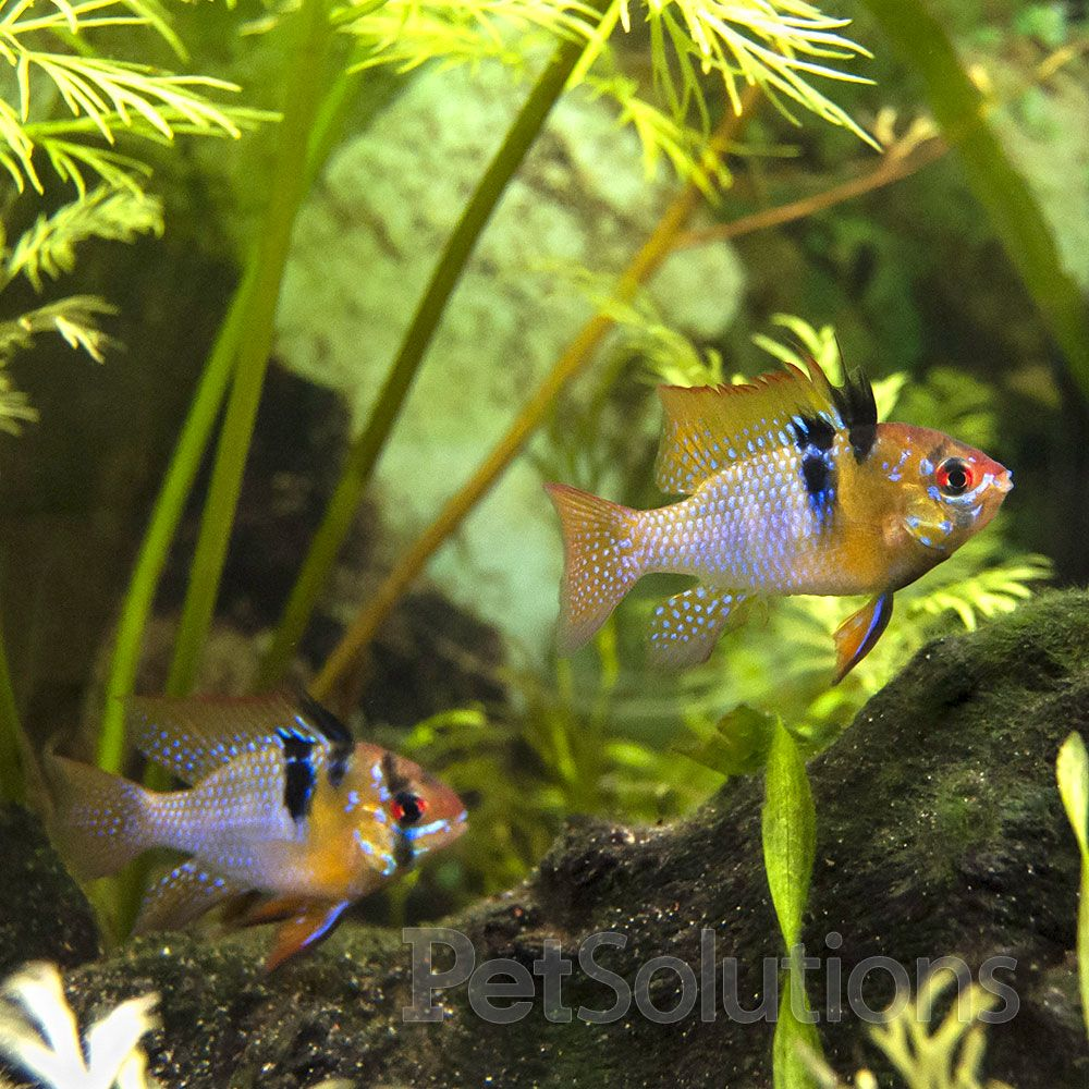 Ramirez Cichlid Microgeophagus Ramirezi Females These Are The Natural Colouration And The Correct Physical Fresh Water Fish Tank Tropical Fish Tanks Cichlids