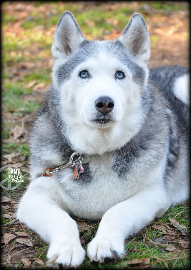 Check Blog To See If A Siberian Husky Is Right For You And If They