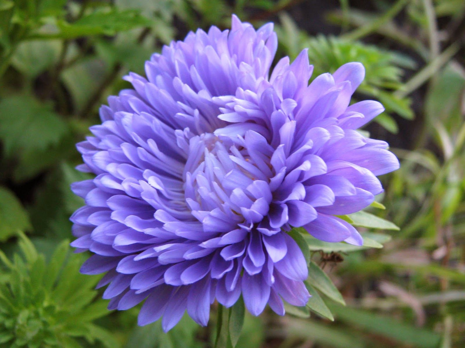 Ambassador For Jesus His Cheeks Are As A Bed Of Spices As Sweet Flowers Aster Flower Wholesale Flowers Hd Flower Wallpaper