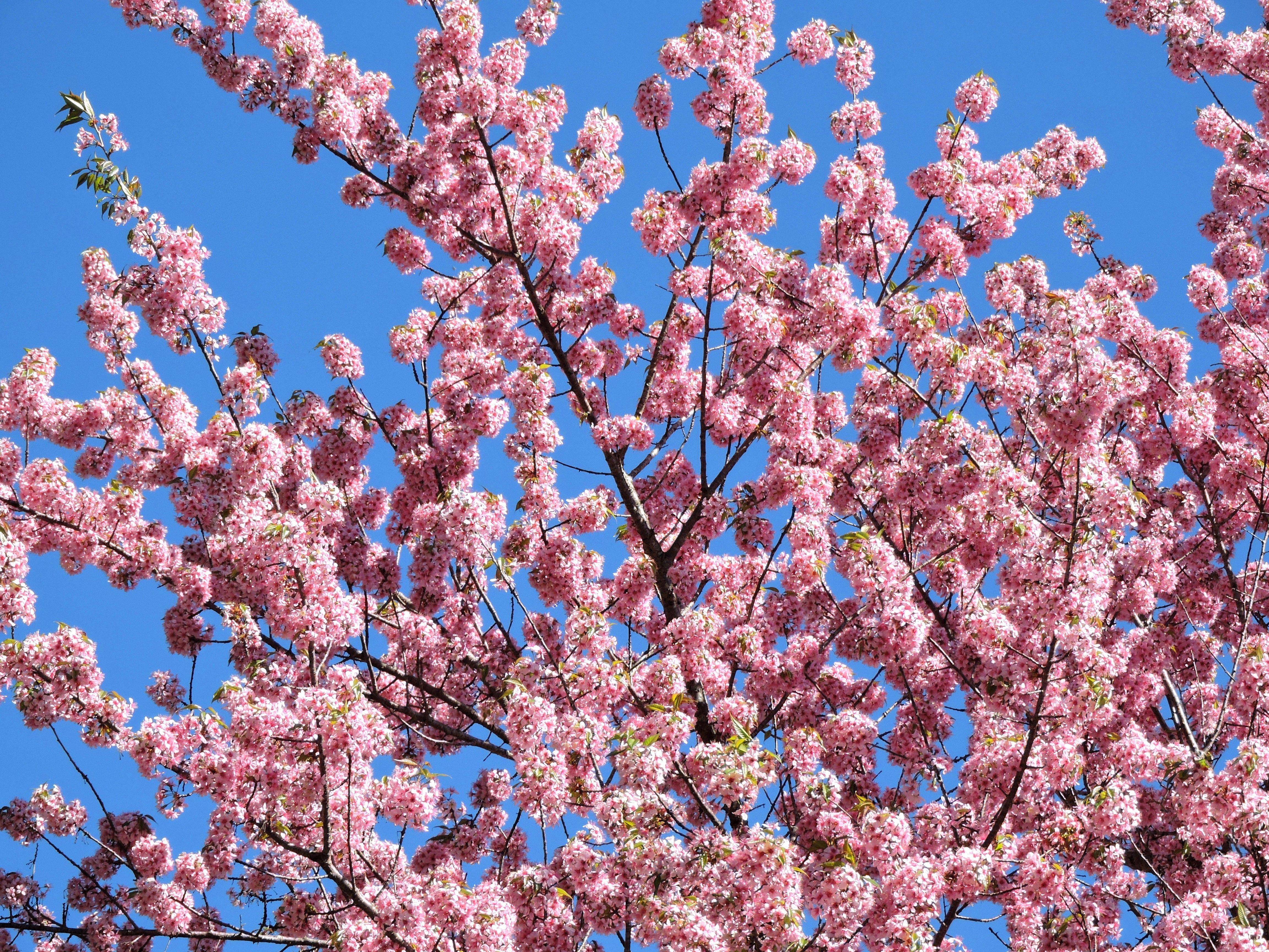 Cherry Blossom Festival Meghalaya Northeast India Www Neroutes Com Cherry Blossom Festival Meghalaya Shillong