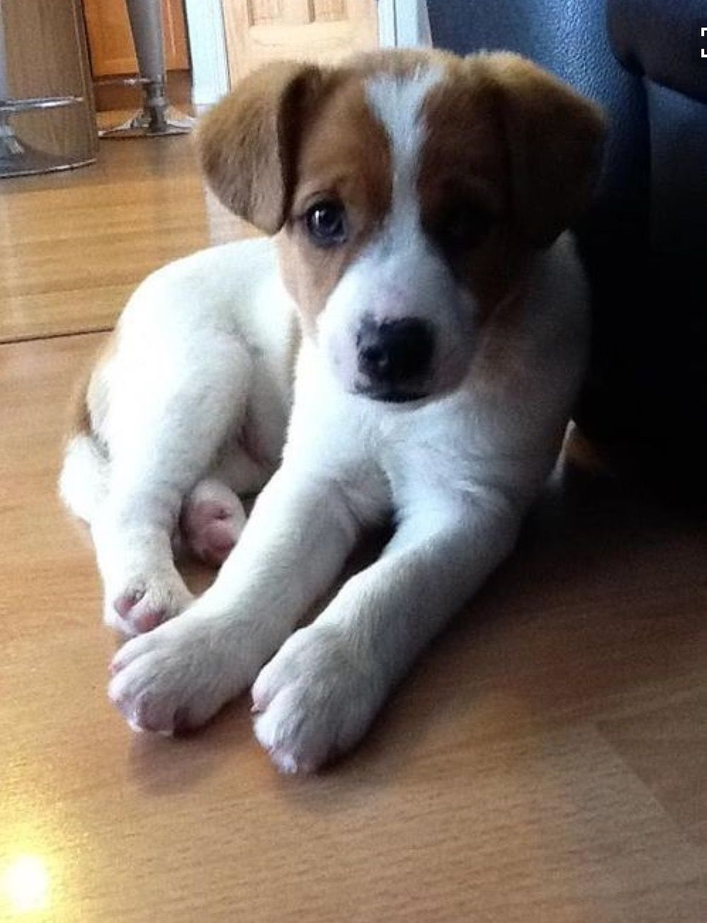 Pin By Susie Murphy On Jack Russel Jack Russell Puppies Jack Russell Dogs