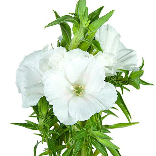White Godetia Flowers Fiftyflowers Com Flowers Flower Arrangements Wedding Bouquets