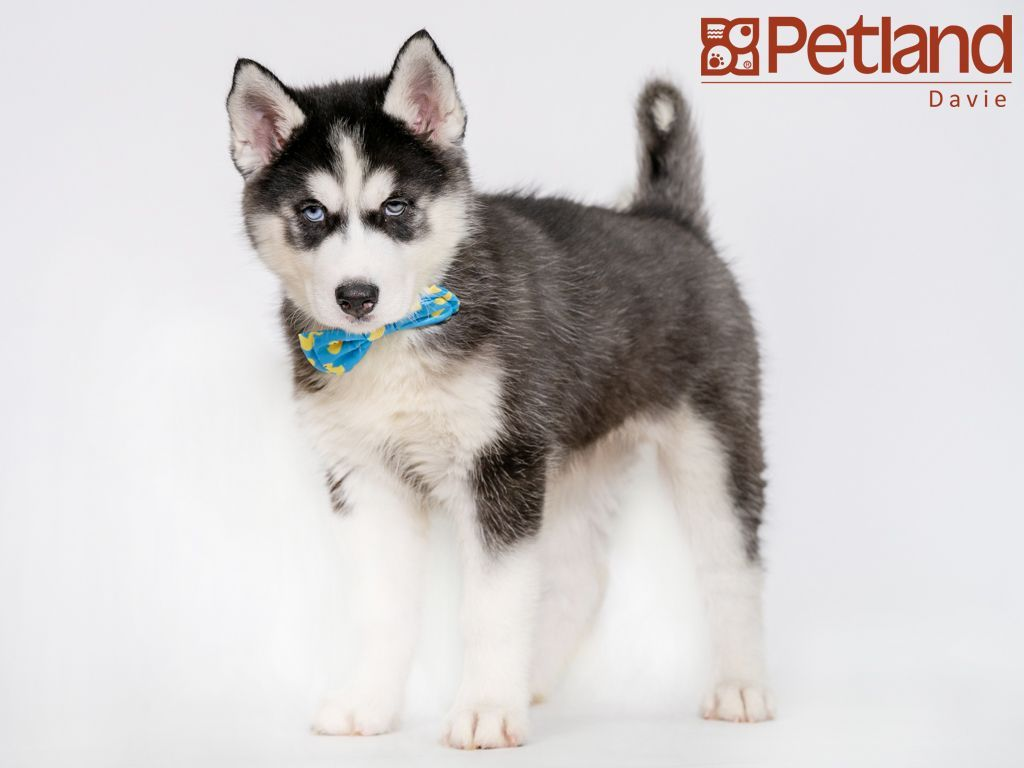 Petland Florida Has Siberian Husky Puppies For Sale Check Out All Our Available Puppies Siberia Husky Puppies For Sale Siberian Husky Puppies Puppy Friends