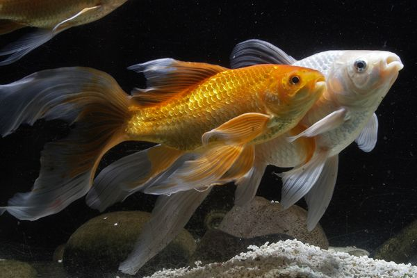 Comets on the hoof gathering of goldfish in 2018 pinterest for Wassertiere im teich