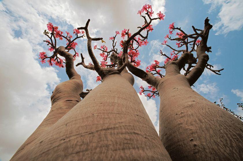 Desert Rose Tree Adenium Obesum Socotranum Com Imagens Rosa