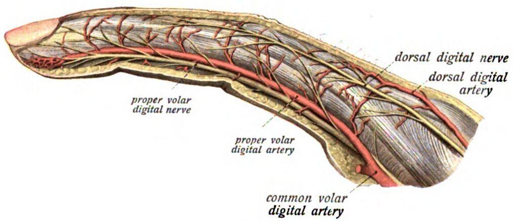 03f096206d223a4c3203c94abb3bd2e8 finger nerves innervation diagram hand anatomy pinterest