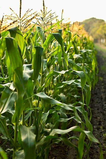 Pin By Melpo Siouti On The Corn Farm Plants Farm Garden 400 x 300