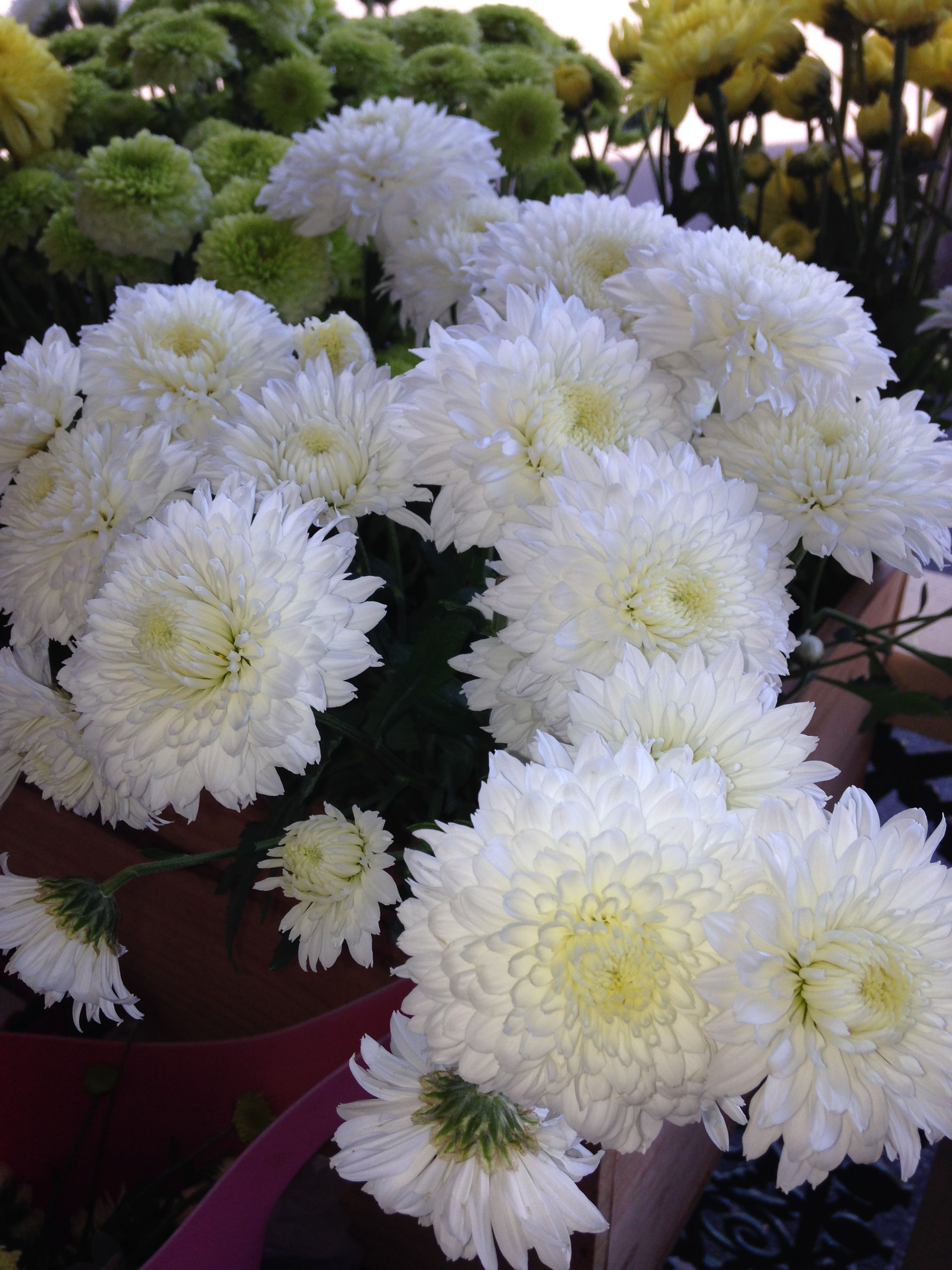 Fresh Chrysanthemums  $10 a bunch this Saturday & Sunday, Mothers Day. 154 Union Street The Junction NSW