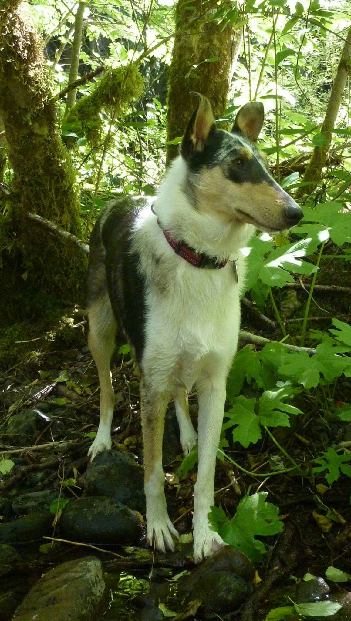 Pin On Cheramore Collies Mosier Oregon Rough Collie Smooth Collie