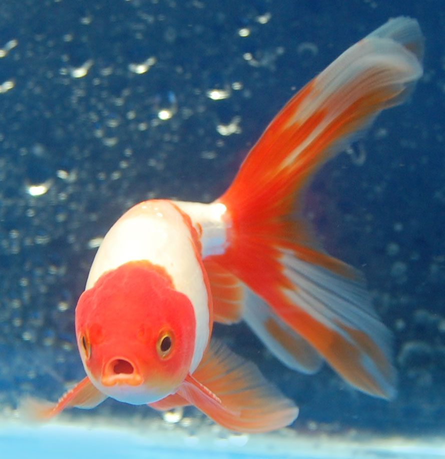 Goldfish shukins goldfish for the pond pinterest for Goldfish pond