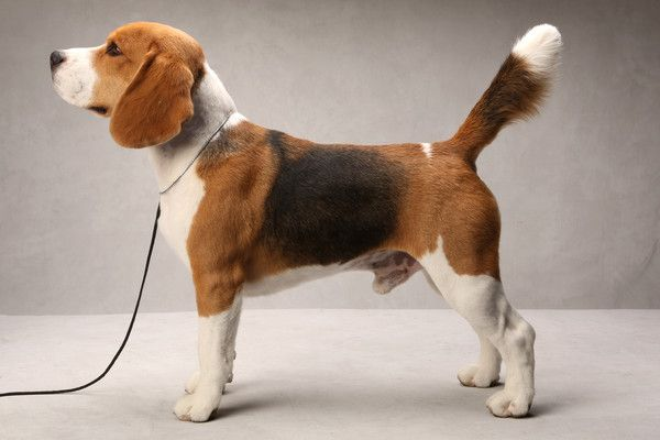 Westminster S Best Of Breed Westminster Dog Show Beagle Dog