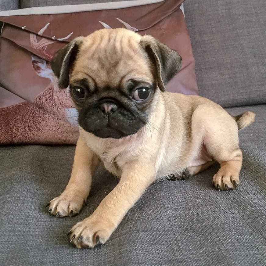 Liv The Pug Is Tiny Yet Fiercely Cute Cute Pugs Pugs Pug Photos
