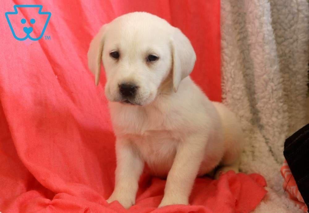 Leah Labrador Retriever English Cream Puppy For Sale