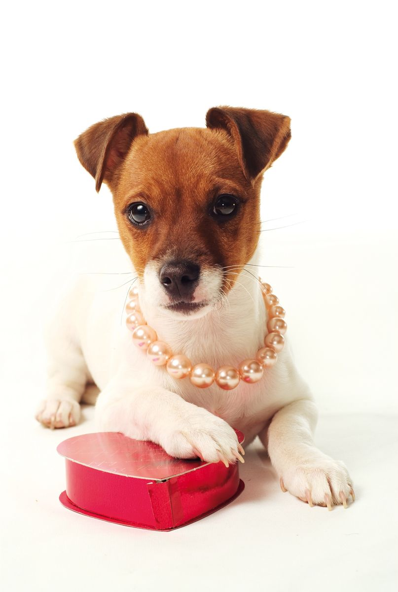 Happy Valentine S Day Jack Russell Terrier Puppies Animal