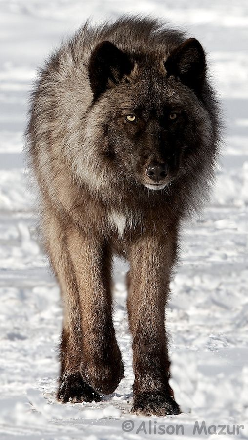 Timberwolf, by Alison Mazur on 500px.....stunning creatures (Canis lupus occidentalis)