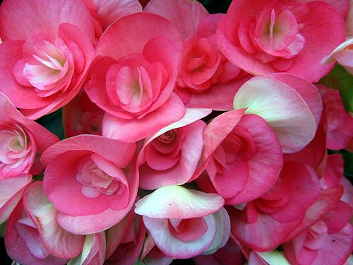 Begonia Flower Pictures Meanings Flowers Begonia Flower Lover