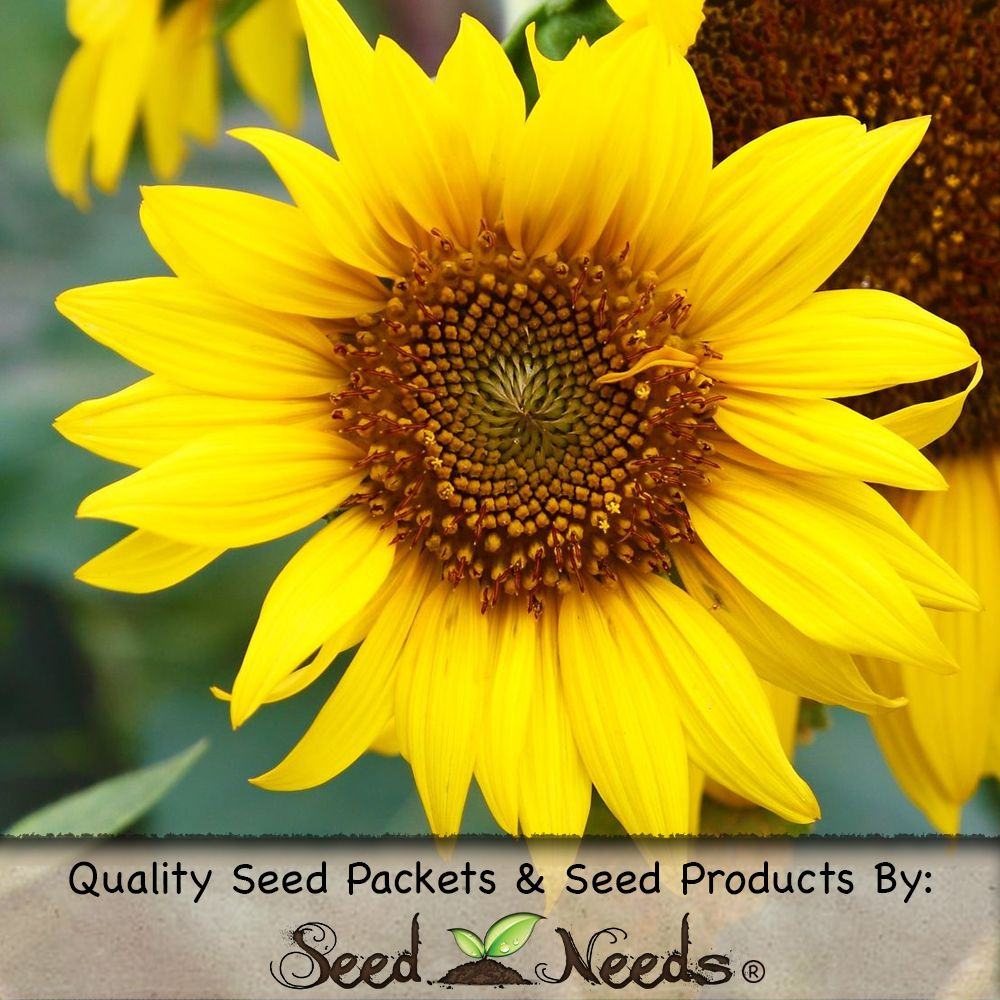 Pin By Seed Needs On Sunflowers Flower Seeds Planting Flowers Seeds