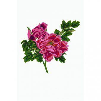 Roses Rosa ornamentale - Schema