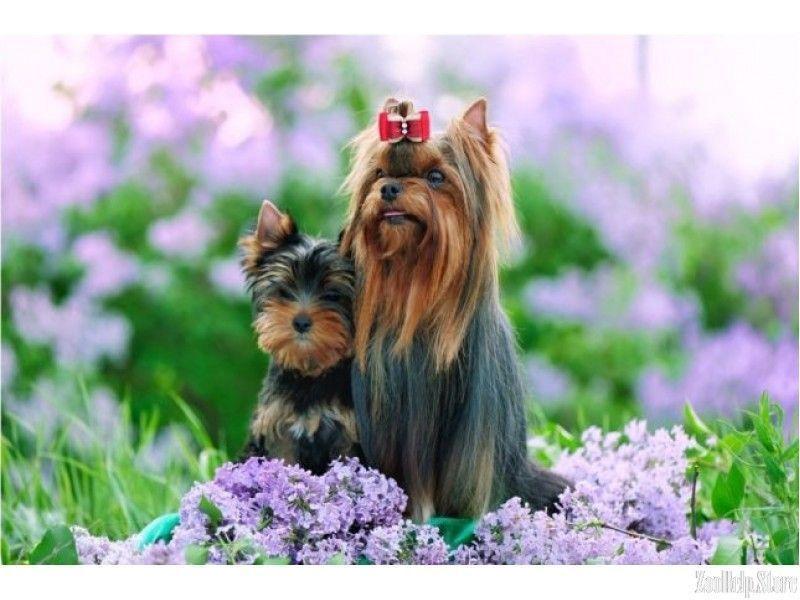 Yorkie Breeders In Nc Best Puppies 283