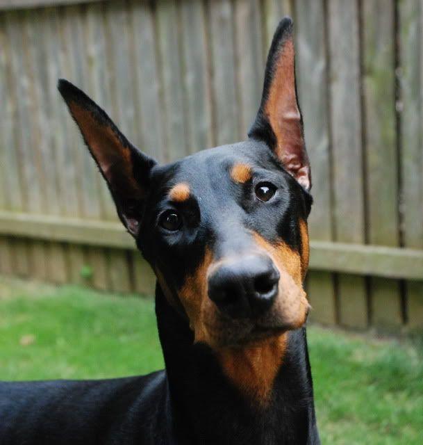 Show Crop Ear Styles Doberman Forum Doberman Breed Dog Forums