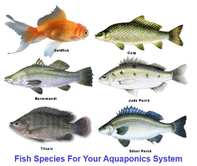 Homemade aquaponics fish species gardening and self for Fish for aquaponics