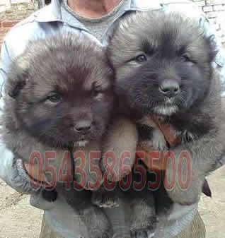 Satılık Yavru Kafkas Çoban Köpeği fiyatları  http://kafkas-coban.yavruilani.com/satilik-yavru-kafkas-coban-kopegi/
