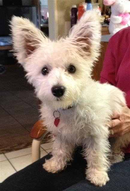 Cross Breed Cuties Highland Maltie Westie Puppies Cute Baby