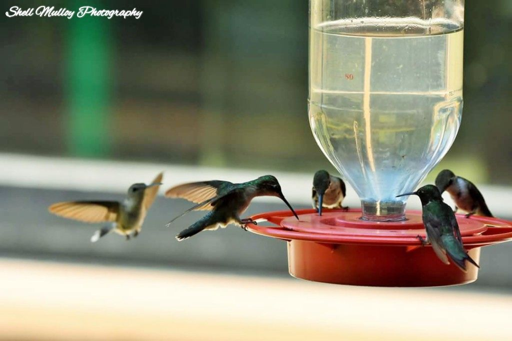Pin by shell Mulloy on Shell Mulloy's hummingbird