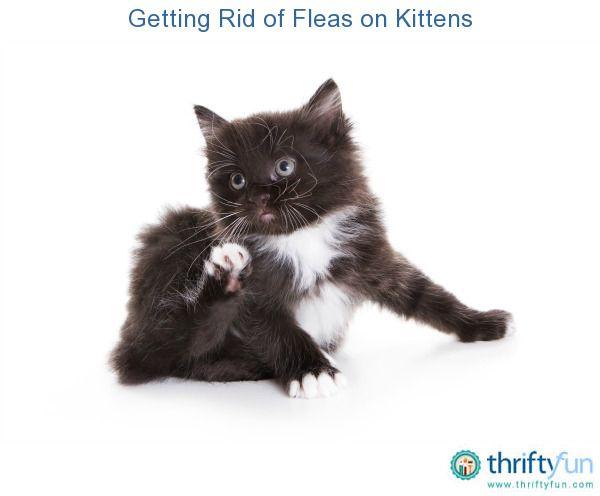 Getting Rid of Fleas on Kittens Fleas on kittens