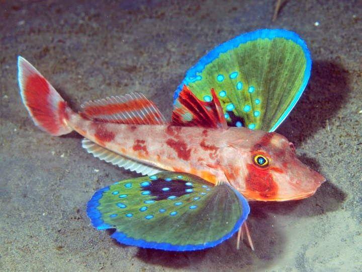pesce farfalla Il Lepidotrigla vanessa