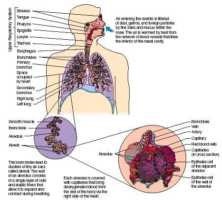 The Human Breathing Cycle Respiratory System Diagram Human