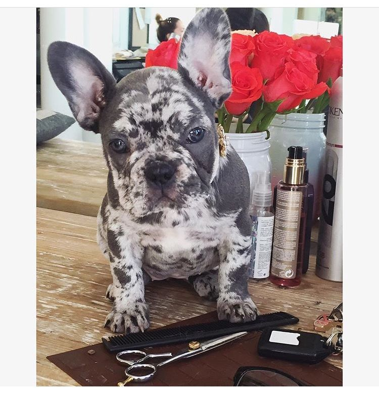 Blue Merle Frenchie From First Class Frenchies Bulldog Puppies English Bulldog Puppies Brindle French Bulldog