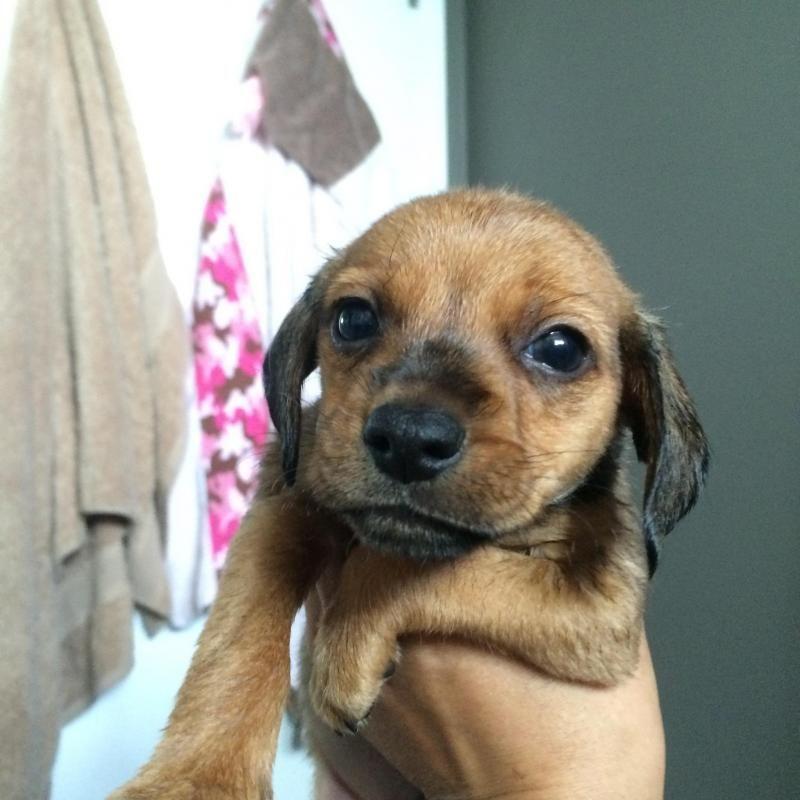 Adopt Sebastian On Adoptable Dachshund Dog Dachshund Dog