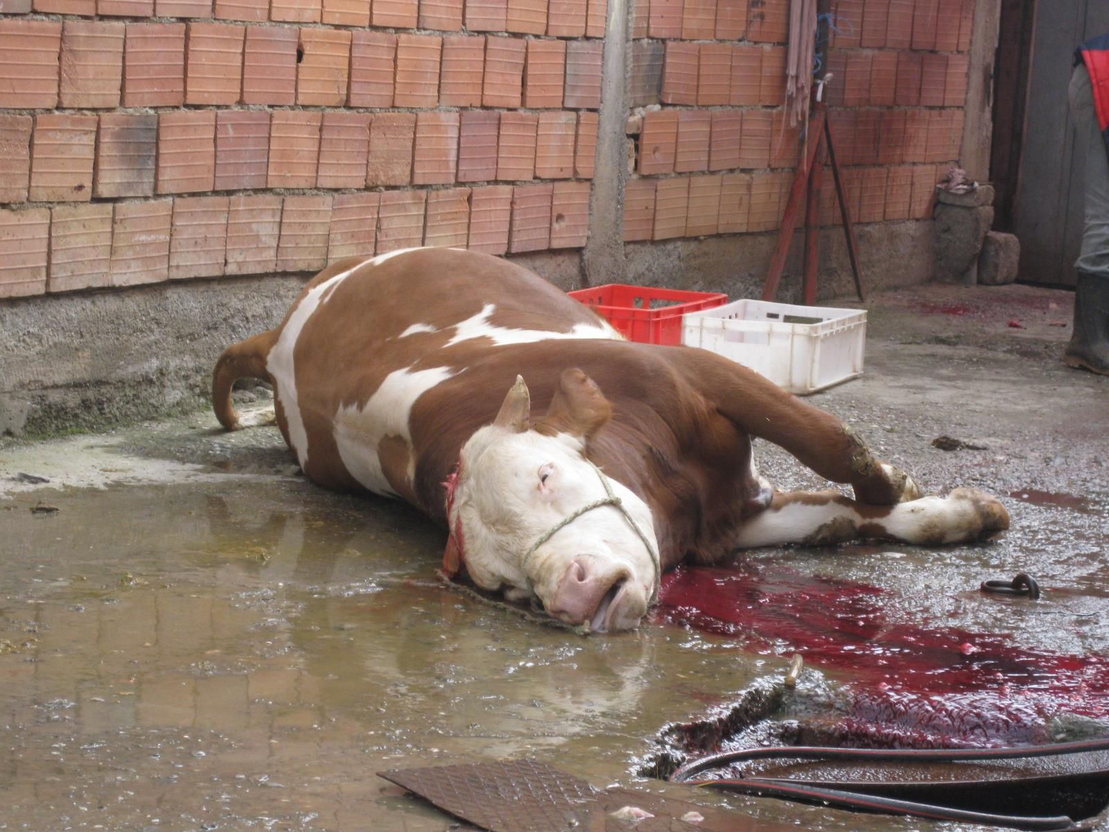 Inside the slaughter house! | animal Cruelty... | Pinterest - photo#17
